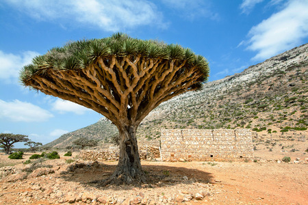 Dragon Blood Tree,  Threatened species  Socotra Island Stok Fotoğraf