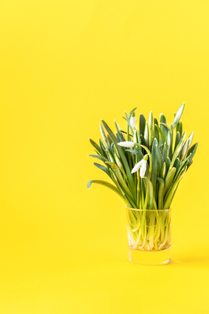 Flower a symbol of spring snowdrop on  bright yellow background. Concept sunny day  Greeting card Copy space for Text. Stok Fotoğraf