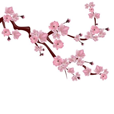 Japanischer Kirschbaum. Ein Zweig der rosa Kirschblüten. Isoliert auf weißen Hintergrund. Illustration Standard-Bild - 68946397