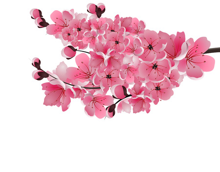 sakura. Lush branch dark pink cherry blossom close-up. Isolated on white background. Vector illustration