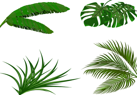 Set. Green leaves of banana, coconut , monstera and ogawa. Tropical theme. Colorful graphic design for print, picture or postcard. Vector illustration