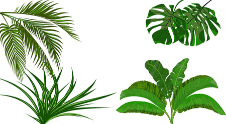 Set. Green leaves of banana, coconut , monstera and ogawa. Bush. Tropical theme. for print, picture or postcard. illustration