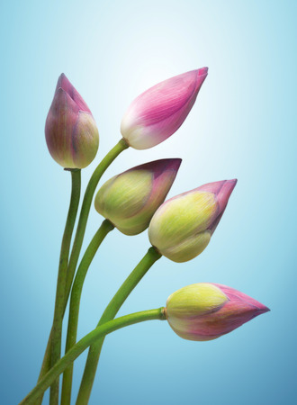 lily buds: Lotus flower buds