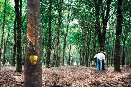 ゴム製木のプランテーション 写真素材