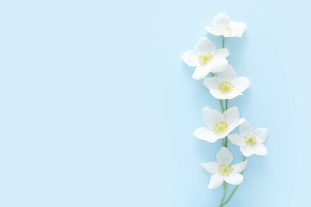 Spring white flowers on blue background with copy space.