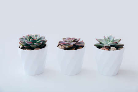 Three tiny succulents in white pots on white background. Scandinavian style interior decoration