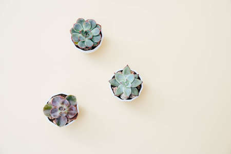 Three tiny succulents in white pots on light beige background. Scandinavian style interior decoration