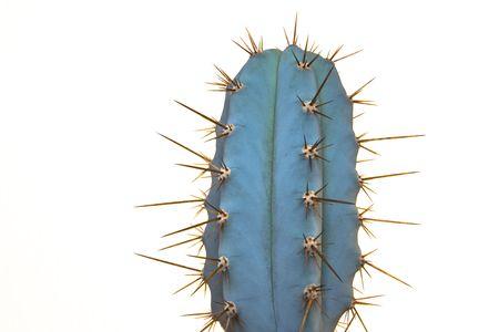 mescaline: Trichocereus Peruvianus - peruvian cacti