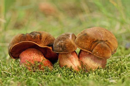 eatable: Eatable mushroom from german forest