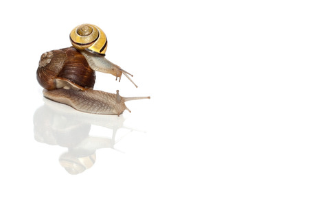 Two snails on the white background.  Stock Photo