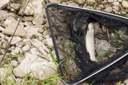 Landing net with rod and brownt trout fish.