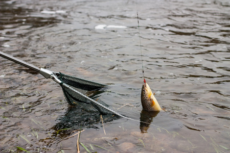 salmo trutta: Landing net with brown trout fisch in a river.