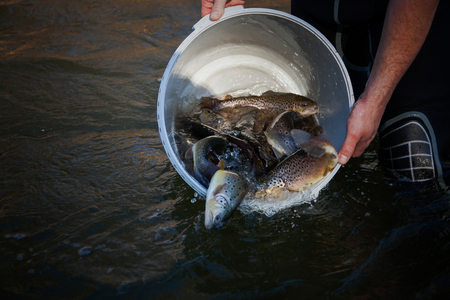 Brown trouts in the bucket in the river.  Stok Fotoğraf