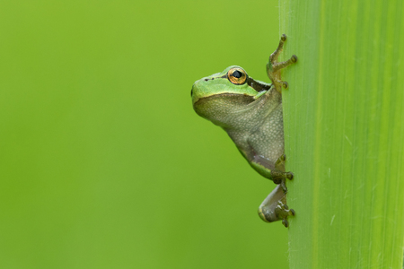 Green European Tree Frog on the green leaf.
