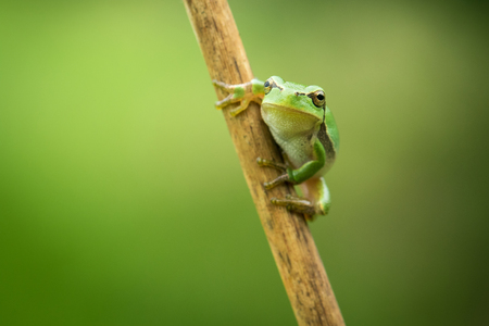 Green European Tree Frog on the wooden stick. Imagens - 106119798