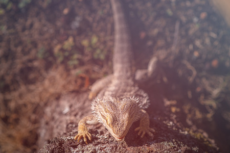 A central bearde dragon in the nature. Stockfoto