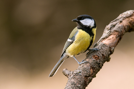 Great tit sitting on the branch. Archivio Fotografico - 115567809