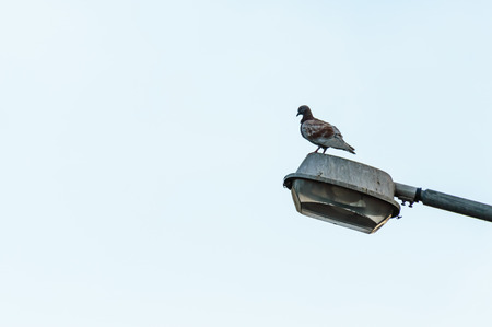 lamp light: A Pigeon stands firmly on the lamp light on a clear sky Stock Photo
