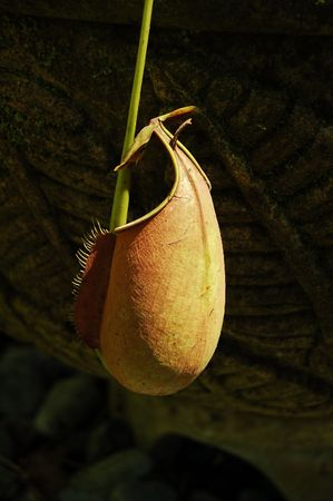 pitfall: Pitcher Plant