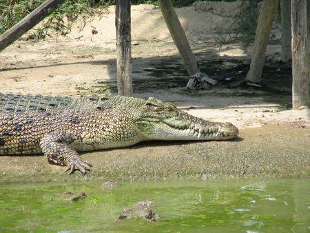 sun bathing: Crocodile Sun bathing Stock Photo