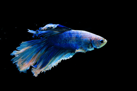 blue fish: blue fighter fish