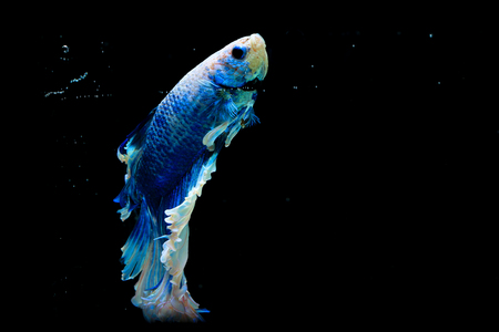 blue fish: blue fighter fish enjoy swimming in water Stock Photo