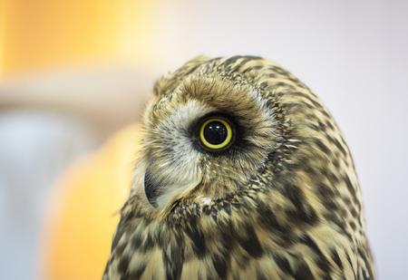 Swamp owl Фото со стока
