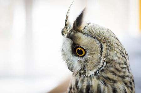 Screech-owl on a light background