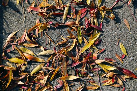 seasonal filled frame close up background wallpaper autumn shot of a pile of soft red orange yellow dry leaves lying on rough grey asphalt floor