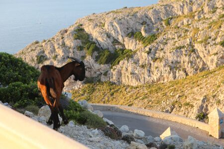 a photo of a young brown balearic rocky mountain goat (cabra mallorquina) looking for green grass on the hills of Formentor Lighthouse Cape (Cap de Formentor) on a scenic sea and mountain background Stok Fotoğraf