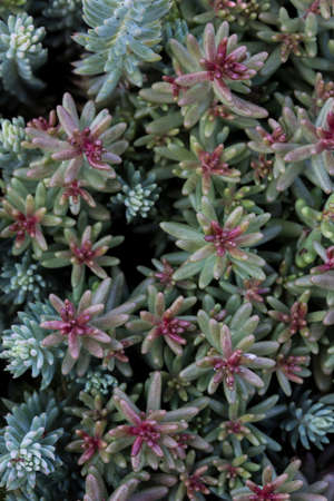 close up macro shot of a bunch of sedum reflexeum or rupestre (Jenny's stonecrop, blue stonecrop, stone orpine or prick-madam) succulent plants with pretty thin pink green leaves on bokeh background
