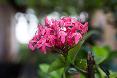beautiful pink purple small flowers with four petals on an Ixora cultivars (flame of the woods) plant with bright green leaves in the background. Shot on sri lanka island Reklamní fotografie