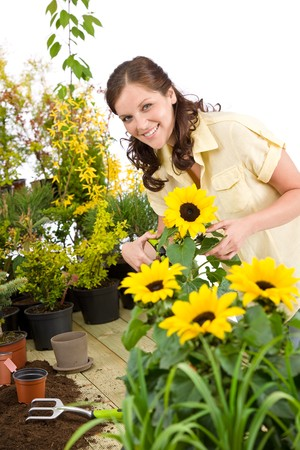 smiling woman in a greenhouse: Gardening - smiling woman with sunflowers and plants on white background Stock Photo