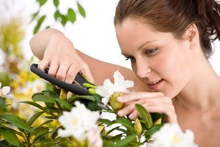 Gardening - woman cutting flower with pruning shears on white background photo