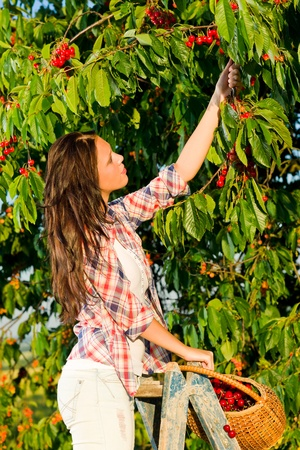 Beautiful woman harvest cherry tree summer  stand on ladder sunny day photo