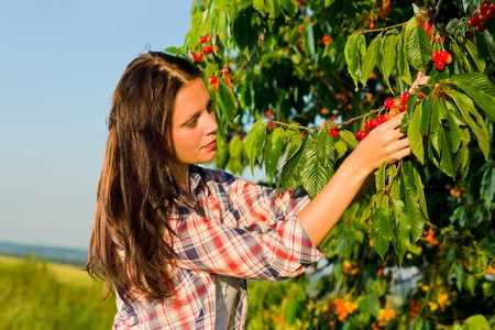 Cherry tree beautiful woman harvest summer  sunny countryside on ladder
