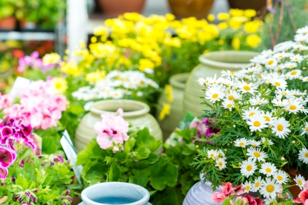 gamme de produit: Marguerite blanche fleur en pot dans le jardin de centre de commerce de d�tail