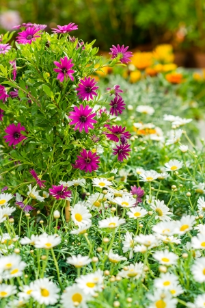 White and purple daisy flowers at garden centre retail store photo