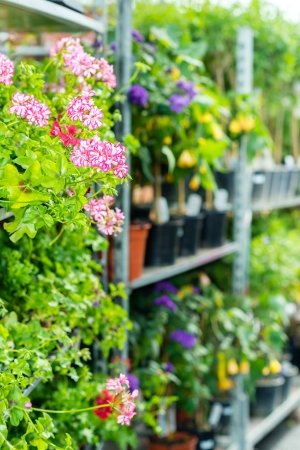 Potted flowers on shelves in garden shop greenhouse plants photo