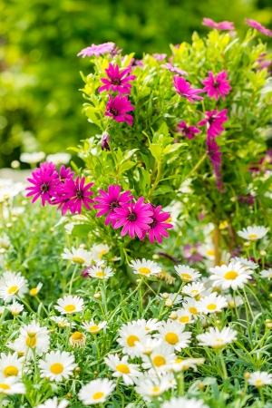 Spring flowers in garden store greenhouse white and purple daisy photo