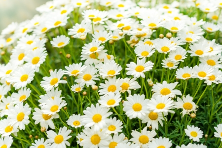 White daisy flower at garden centre retail store photo