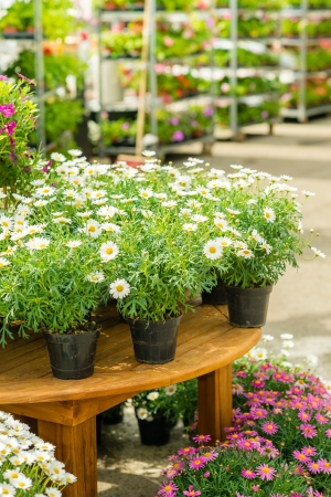 flower market: Potted flowers on table in garden centre greenhouse store