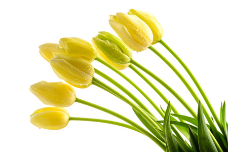 tulipa: Yellow tulips flowers with long stalk on white background