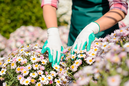 Close-up hands in gardening gloves touch daisy flowerbed sunny day photo