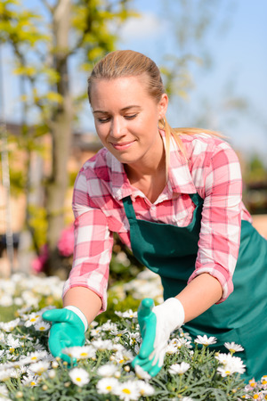 caring for: Garden center woman worker caring for potted daisy flowers sunny Stock Photo