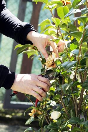 pruneau: �laguer un arbre avec des ciseaux Banque d'images