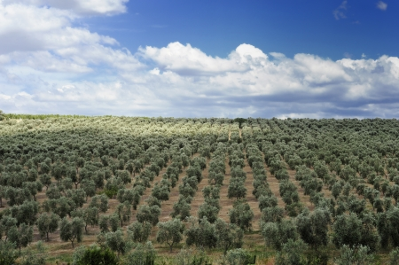 olive farm: landscape with field of olive trees Stock Photo