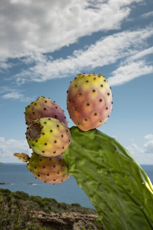cactus branch with prickly pears, with sunny seascape background
