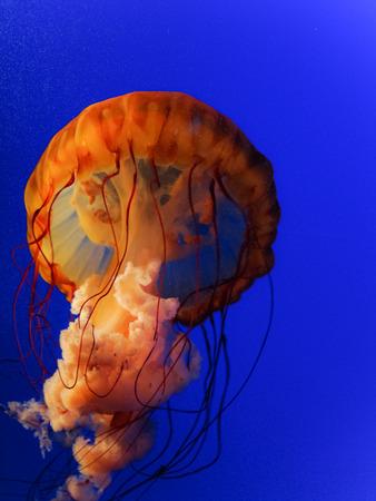 hugh: The Hugh Orange Jellyfish in a blue blackground.