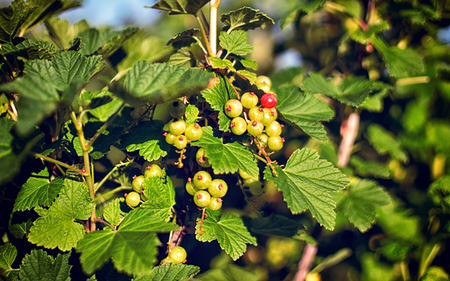 currants: Green red currants Stock Photo